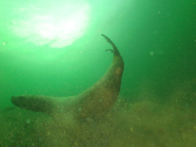 PICT6652-steller-sealion-stiring-the-silt-shallow.JPG