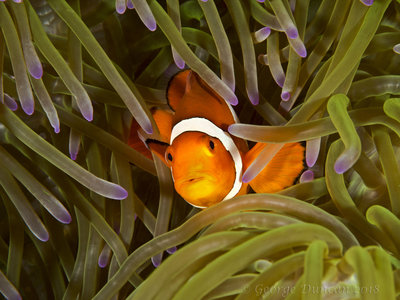 Common Clownfish Hiding.jpg