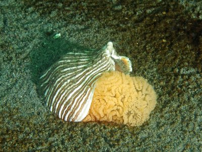 Striped Nudi Eggs.jpg