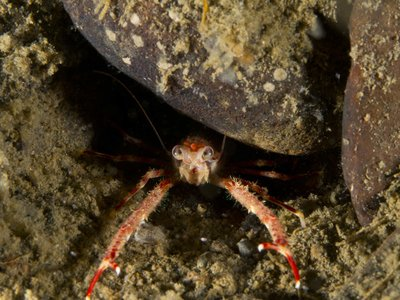 Squat Lobster.jpg