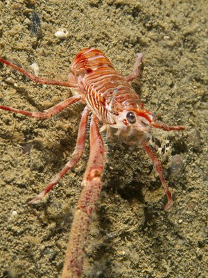 Squat Lobster in the open.jpg