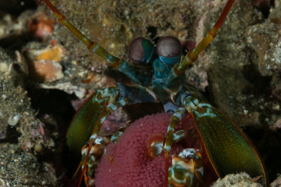 Peacock Mantis Shrimp with Eggs (1 of 1).jpg