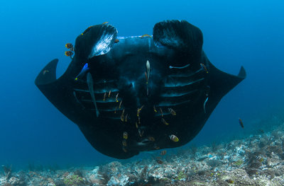 Reef Manta Swimming Upward (1 of 1).jpg