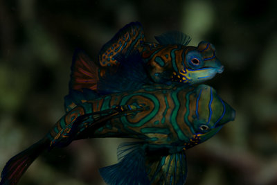 Mandarin Fish Mating (1 of 1).jpg