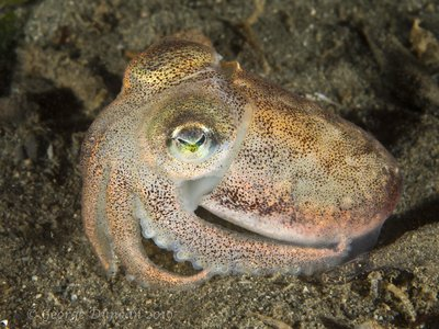 Opalescent Stubby Squid.jpg