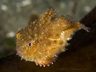 Golden Pacific Spiny Lumpsucker.jpg