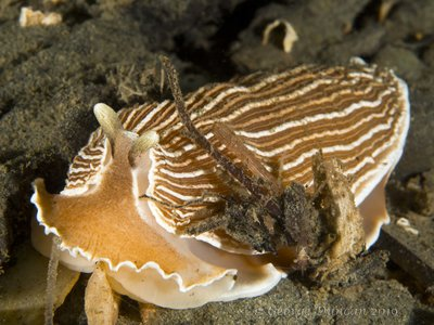 Striped Nudibranch.jpg