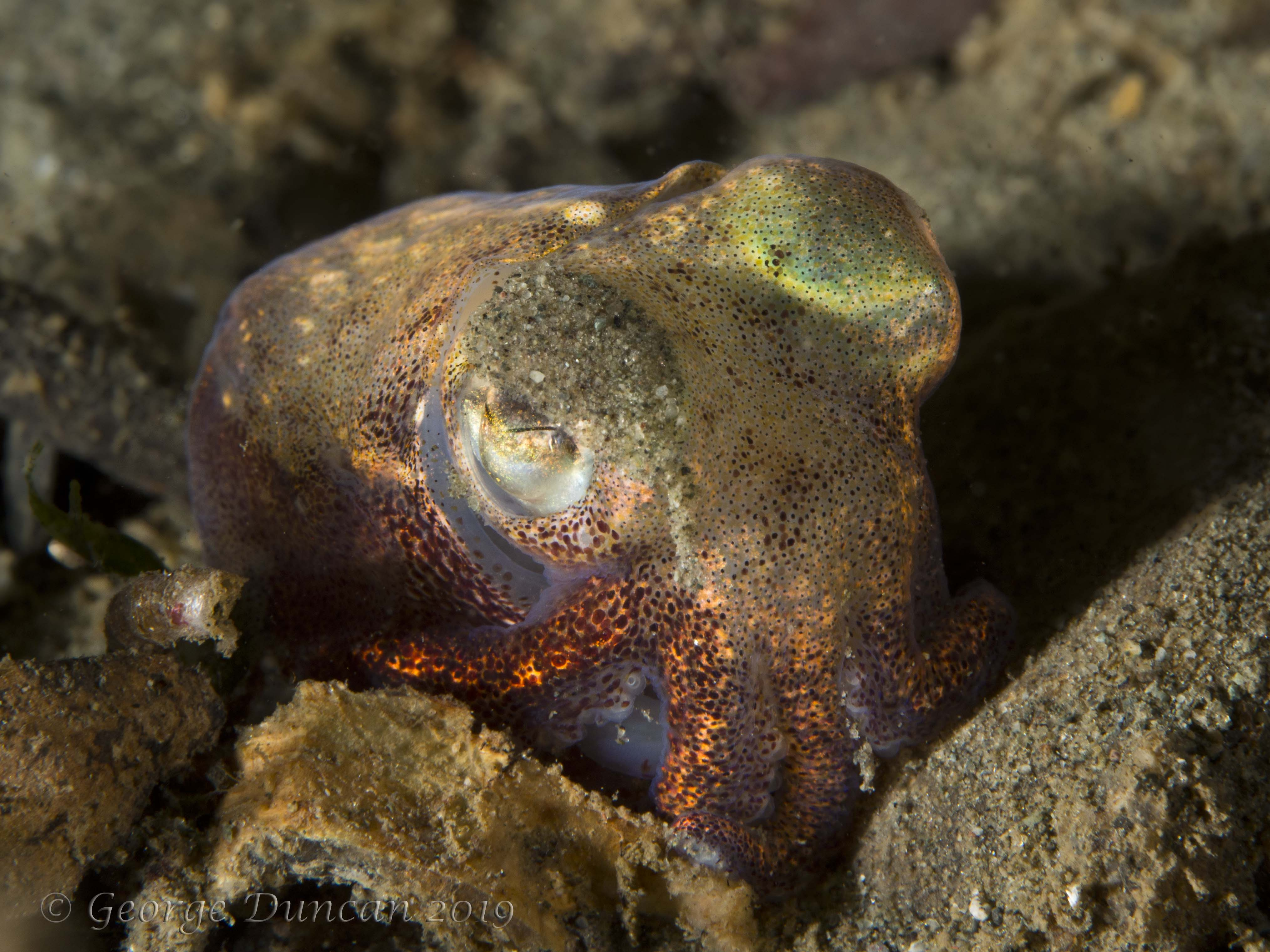 Stubby Squid with Sand in its Eye.jpg