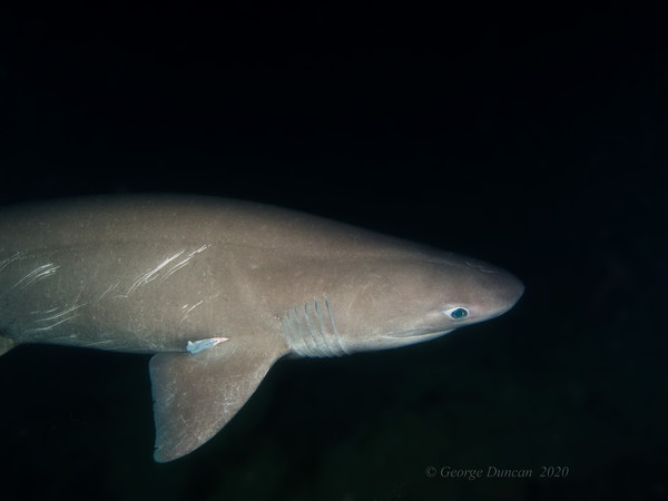 Battle Scarred Six Gill Shark.jpg