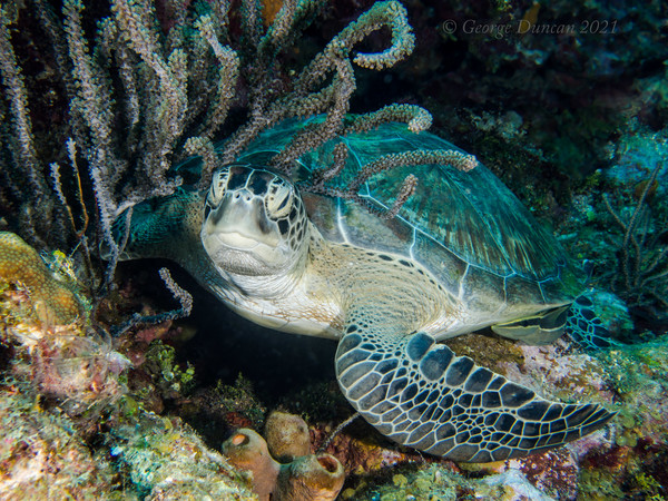 Hawksbill Turtle in Soft Coral.jpg