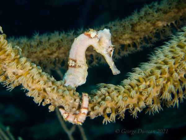 White Lined Seahorse.jpg